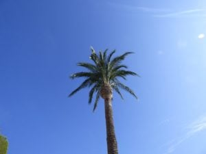 vb-palm-tree